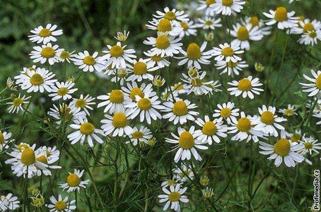 Název: Heřmánek Pravý Latin. název: Matricaria recutita Čeleď: hvězdnicovité Latin. čeleď: Asteraceae