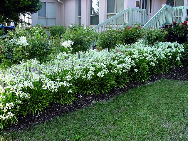 Snowstorm, white bloomed agapanthus (also called African lily or lily of the Nile), blooms more than any other agapanthus and is extremely heat-tolerant and drought-tolerant,