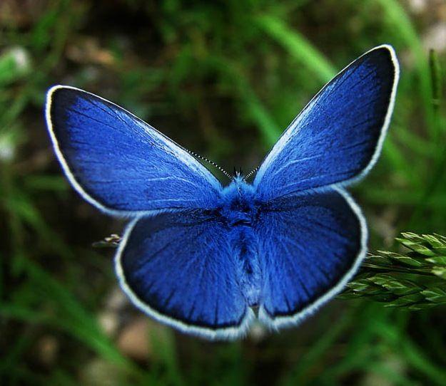 blue butterflies   Karner Blue Butterfly   Fading Americans