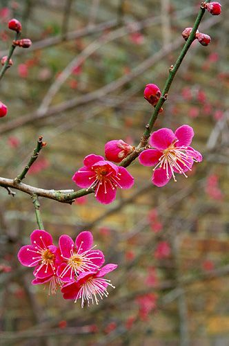 ~~detail of deep pink blossom of prunus mume 'beni- chidori' by Clive Nichols~~