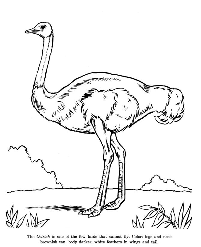 Ostrich Drawing And Coloring Page