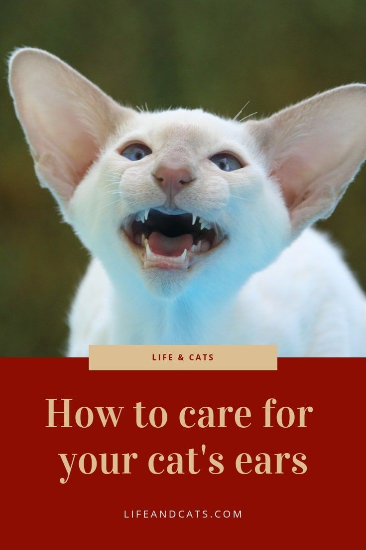 Best Way To Care For Your Cat S Amazing Ears With Images Cat Training Cat Care Cat Grooming