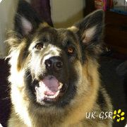 UK German Shepherd Rescue Angels Dogs & Puppies ready for adoption UK-GSR