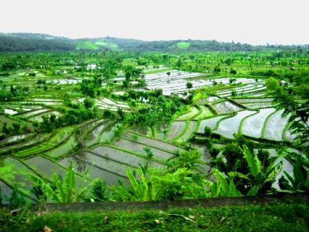 rice paddies ubud, bali