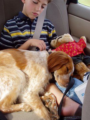 French Brittany Spaniel Information and Pictures