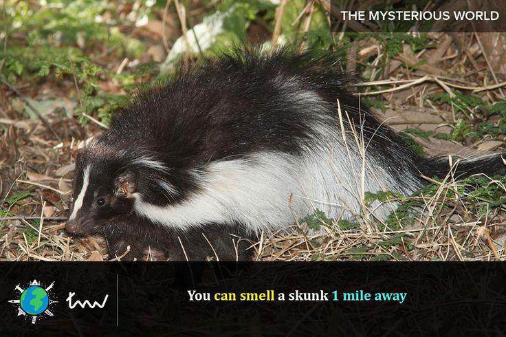 #animals #skunk #facts