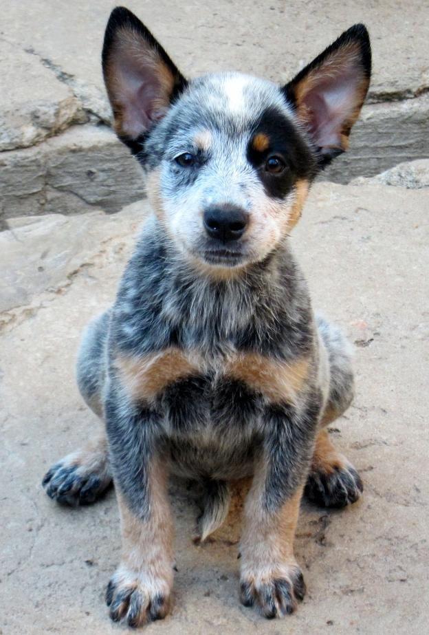 Australian Blue Heeler Dog | australian cattle dog blue heeler raca outros nome maya femea blue ...