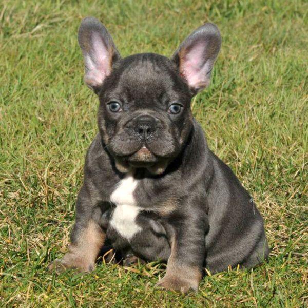 Our Breeding In 2020 French Bulldog Breed Bulldog Breeds Bulldog