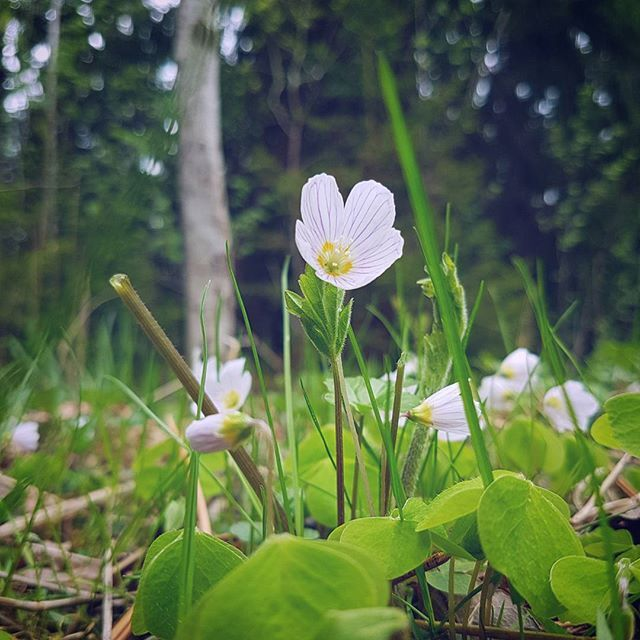 Spring time beauty found by our instagrammer of the week. This flower, Oxalis acetosella, is good to eat, yammy!