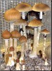 Mushroom spore syringes and mushroom spore prints for microscopy study. Exotic psilocybe cubensis strains.