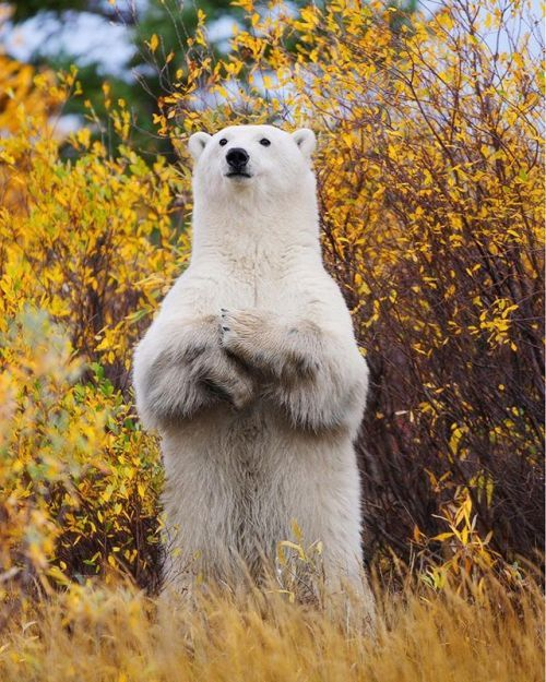Ruth Steck captured the image Standing Tall while visiting Churchill Wild at Nanuk Polar Bear Lodge in Manitoba Canada. Read the story behind the shot in the Last Frame section of the October issue!     #OPOctober #fallcolor #autumn #wildlifephotography #polarbear #canada #Manitoba #landscape_lovers #sky_captures #landscapephotography #fantastic_earth #landscape_captures #ic_landscapes #ig_exquisite #ourplanetdaily #landscapelovers #instanaturelover #welivetoexplore #allnatureshots…