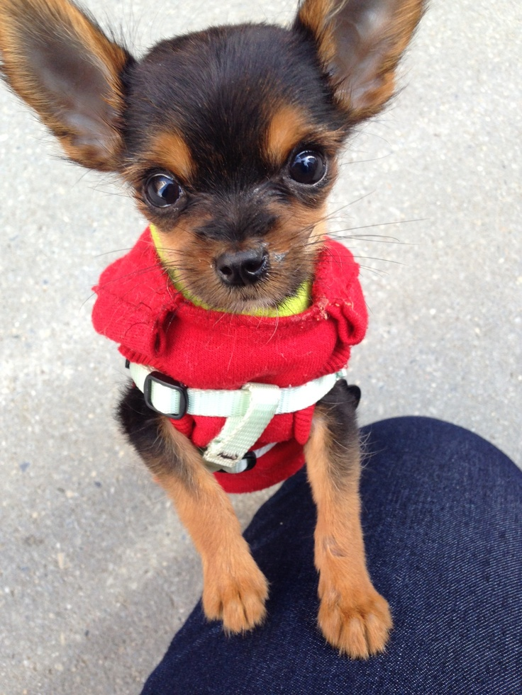 Chihuahua Yorkie mix. Cute n funny animals Pinterest