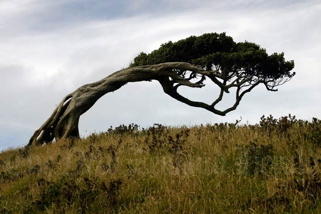 One of the joy's of living on an island is that there is plenty of wind. Chatham Island is 400 kms off the South Island coast of N. Z. and the prevailing wind is a westerly. The tree is a native Akeake.