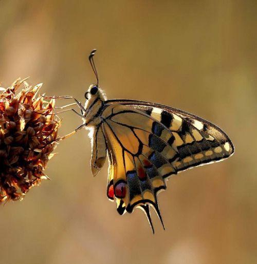 Charm Bracelet - Swallowtail Butterfly by VIDA VIDA KitX51N0