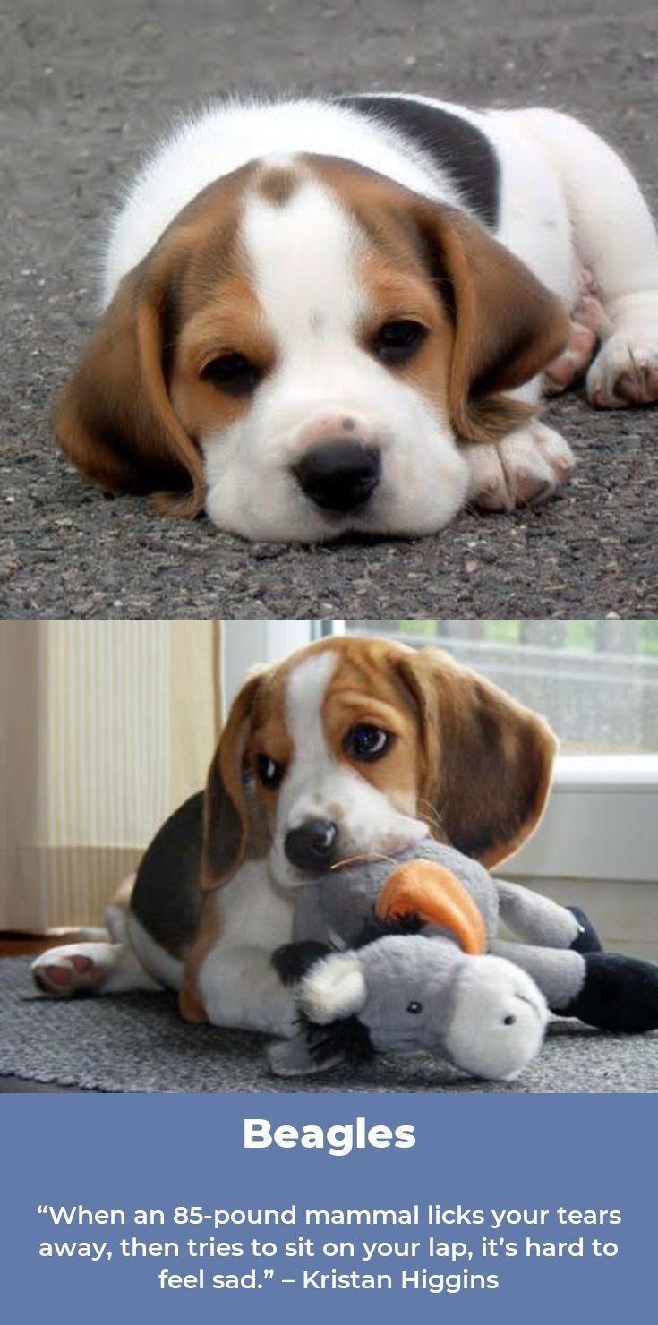 Beagle Puppies Beagleoftheday Beagles Memes Beagle Puppy