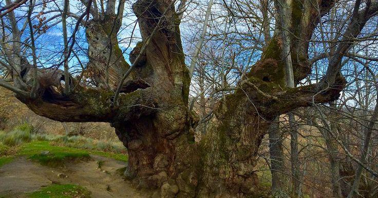 Velaquí o Castiñeiro de Pombariños no Souto de Rozavales. Este Monumento Natural ten máis de 1100 anos e máis de 13 metros de diámetro facéndoo o máis grande de Galicia. Ter semellante tesouro na porta da casa é sen dúbida un luxo!  #Pombariños #Souto #Castiñeiro #Galiza #Rozavales #PazodaPena #PazodaPenaManzaneda #Manzaneda #RibeiraSacra #PaísdoBibei #TurismoRural #Rural #PazoGalego #PazosdeGalicia #Árbore #Natureza #Pumbariños by pazodapenamanzaneda