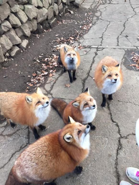 """The foxes at Zao Kitsune Village are friendly so you can enjoy their fluffiness from really close up!""  (In Japanese, ""kitsune"" means ""fox"".)"