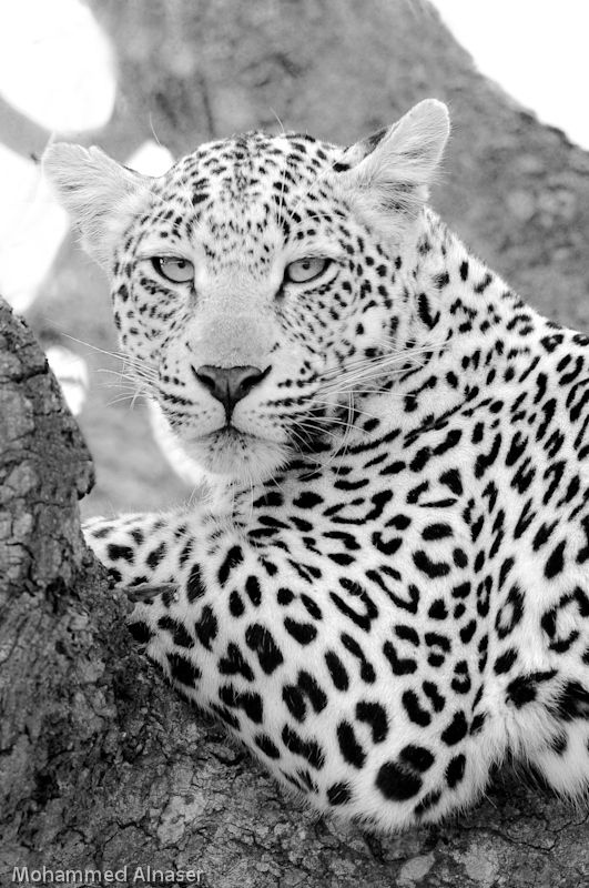 Leopardess! by Mohammed Alnaser