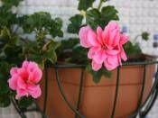 Sakız Sardunya http://www.fidanistanbul.com/urun/875_sakiz-sardunya.html sipariş için 0226 814 00 41 Fidan Satışı, Fide Satışı, internetten Fidan Siparişi, Bodur Aşılı Sertifikalı Meyve Fidanı Süs Bitkileri,Ağaç,Bitki,Çiçek,Çalı,Fide