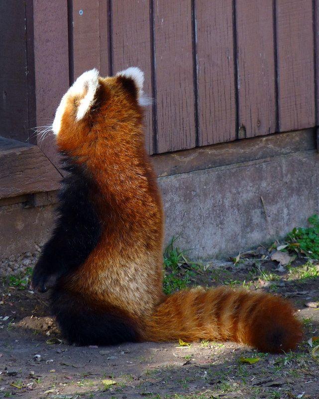 Esdeem - Red Panda Fact #21 - In 2005, a red panda named...