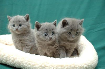 Chartreux kittens. Love that expression on the middle kitten.