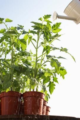 Epsom Salt for Tomatoes - Adding 1Tbs epsom salt for each foot of height saved my yellowing cherry/pear tomatoes. Definitely a worthwhile tip.