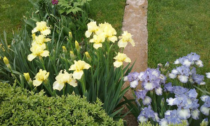 Yelow and blue irisis