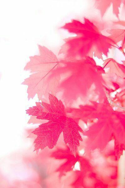 Pink leaf🍁