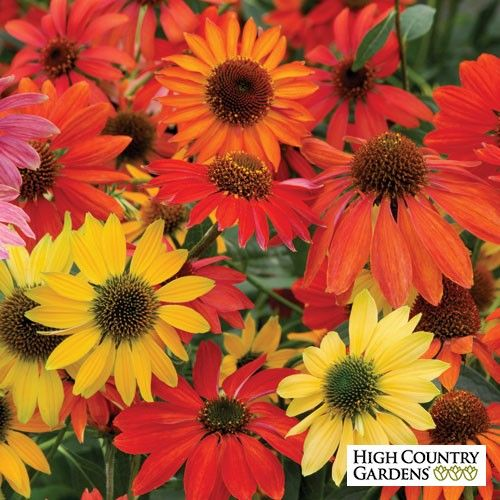 Echinacea 'Cheyenne Spirit' (Cheyenne Spirit Coneflower) provide a mix of flower colors including gold, scarlet, orange, rose-red, cream, purple and yellow. Buy three or more plants to get a colorful blend for your garden.