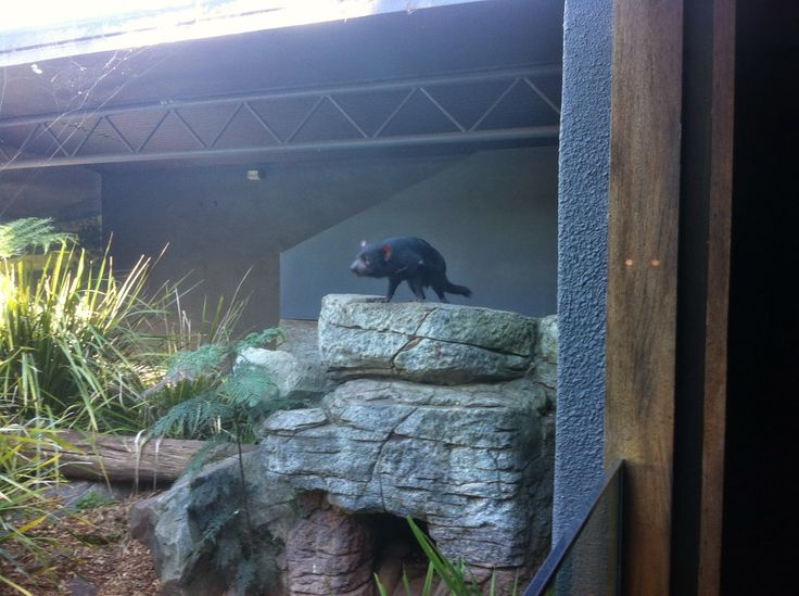 Tasmanian Devil @ Taronga Zoo