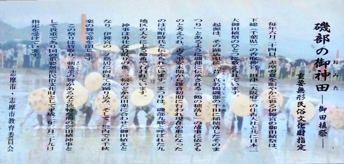 伊雑宮の御料田  神事の行われる6月24日は、倭姫命の巡幸の際に七本のサメが野川を遡上して伊雑宮の鎮座地を示したという「七本鮫」の伝承に基づくとされ、その伝承に則って毎年この日には七本の鮫が伊雑宮に参詣するとされています。