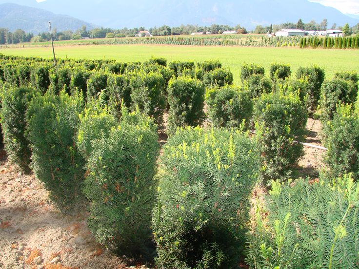 Yew Taxus Evergreen plant on mass for privacy hedge in Metro Vancouver & Fraser Valley.
