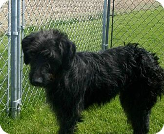 Liberty Center, OH - Goldendoodle. Meet Shylee a Dog for Adoption.