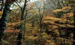 ... pues en las orillas de los ríos disponen de suelos profundos y con humedad edáfica suficiente. Bosque pluriespecífico y maduro de caducifolios en Japón