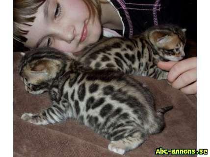 Bengal kattunger til vakre hjem.