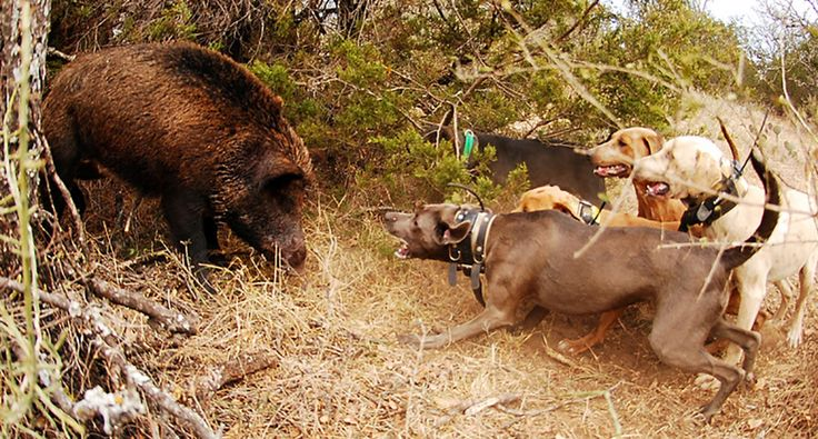 Here is a list of a few excellent dog breeds for hog hunting, which calls for cunning senses and tough attitudes.