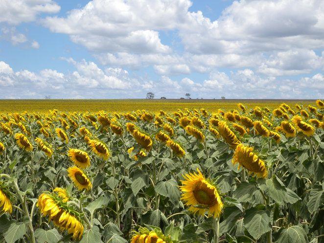 Sunflowers on farms between Warwick & Toowomba