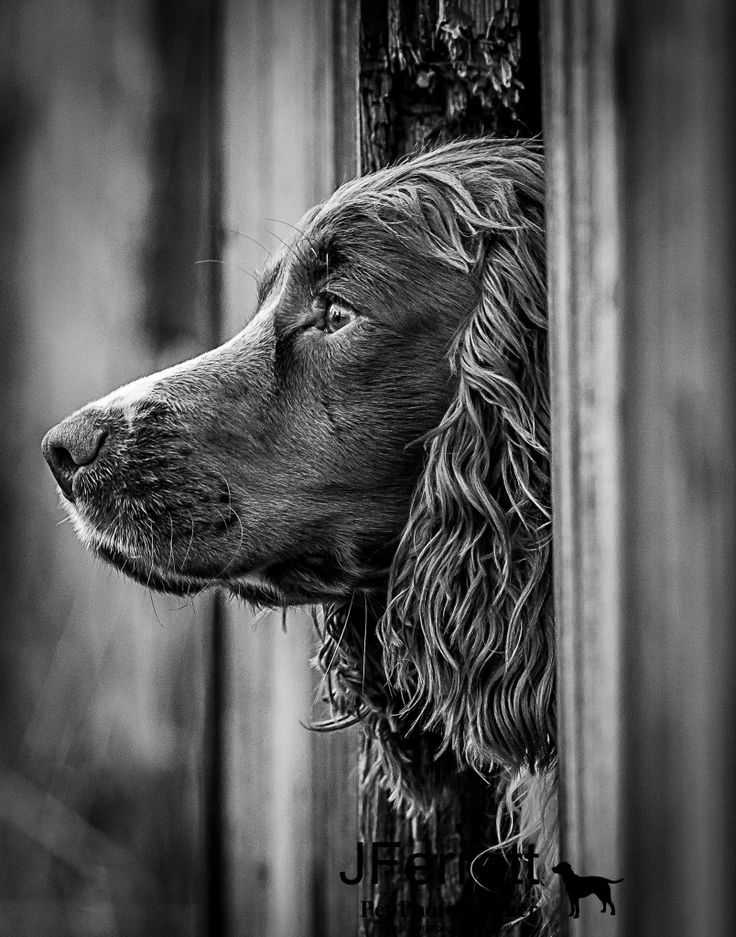 English Springer Spaniel! Working gundog photography by Jferrett.