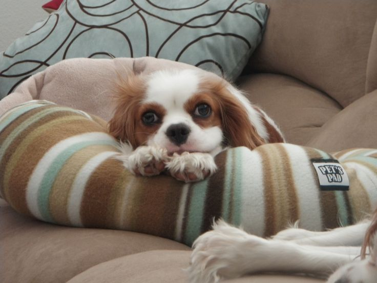 KiKi happy to be chilling at home with her mommy (Cavalier King Charles Spaniels)