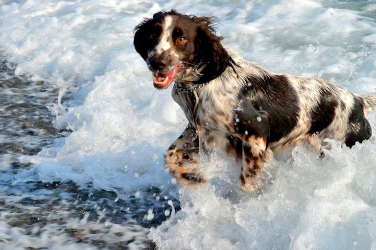 My beloved Freddy... the English Springer Spaniel playing at the sea shore....