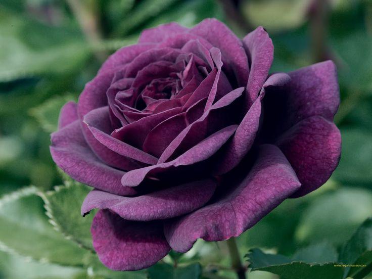 beautiful flowers - Bing Images: Rose Flowers, Favorite Flowers, Ebb Tide, Tide Rose, Deep Purple, Purple Rose, Purple Flowers, Purple Passion, Rose Tattoo