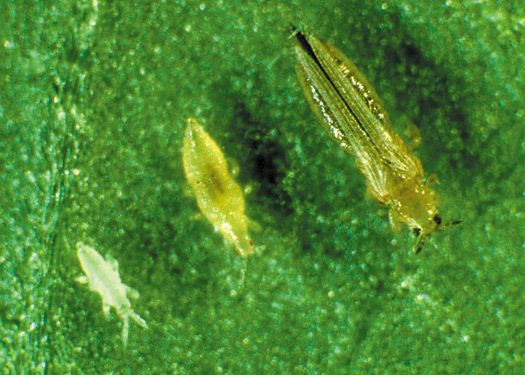 first and second larval stages of western flower thrips  on the left  and adult thrips  on the