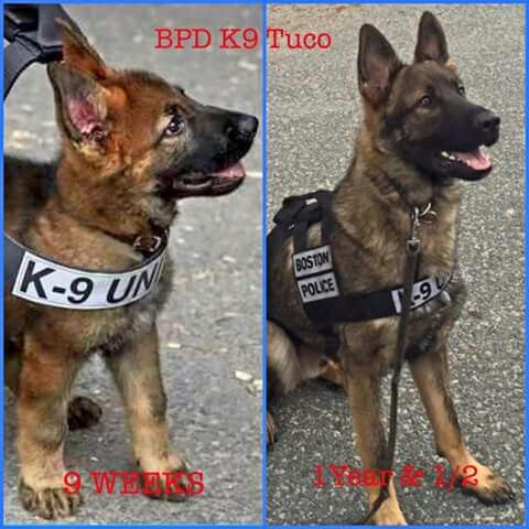 K-9 Tuco....all grown up