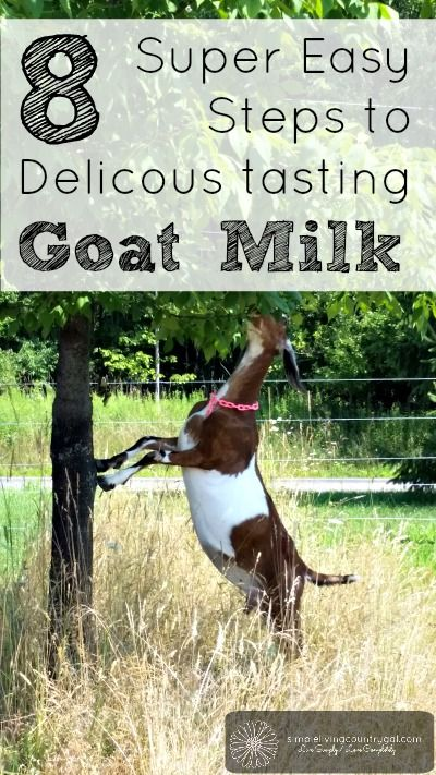 If you follow my 8 SUPER easy steps you will have delicious tasting goat milk every time!