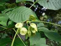 Angusture - L'angusture est une plante de la famille des rutacées et dont l'écorce contient des propriétés thérapeutiques antispasmodiques et astringentes. L'angusture traite les digestions difficiles et les diarrhées grâce à sa vertu digestive. L'angusture est idéale dans les... https://www.complements-alimentaires.co/wp-content/uploads/2012/10/angusture-galipea-officinalis.jpg - Par Nathalie sur Compléments alimentaires  #Lesplantesdelafami