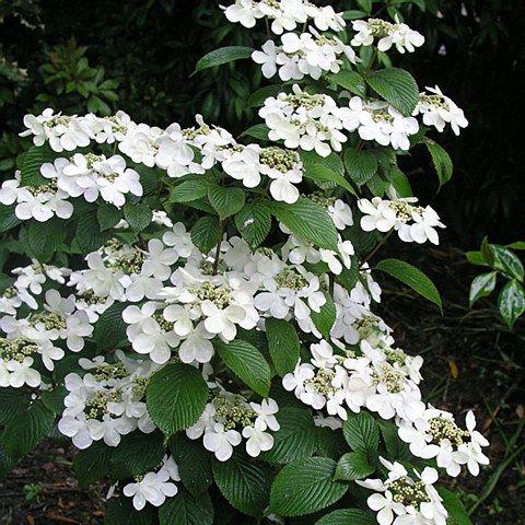 Viburnum plicatum 39 mariesii 39 4l viburnum plicatum for White flowering bush