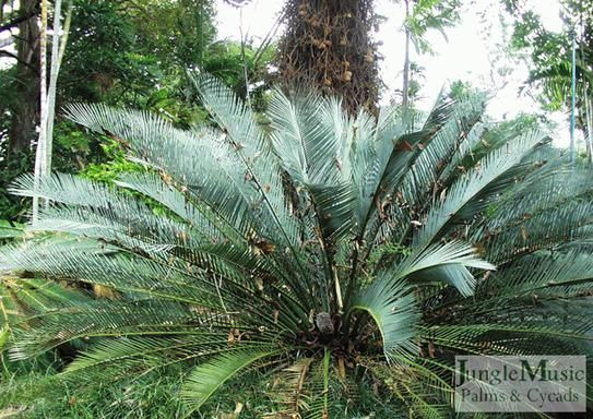 """Macrozamia macdonnellii.  This is a very rare, very sought after Australian cycad.  They are """"blue"""" and showy.  They do eventually make a large plant, but are slow growing.  They are suited to hot/dry climates, but I have seen them in more tropical climates as well."""
