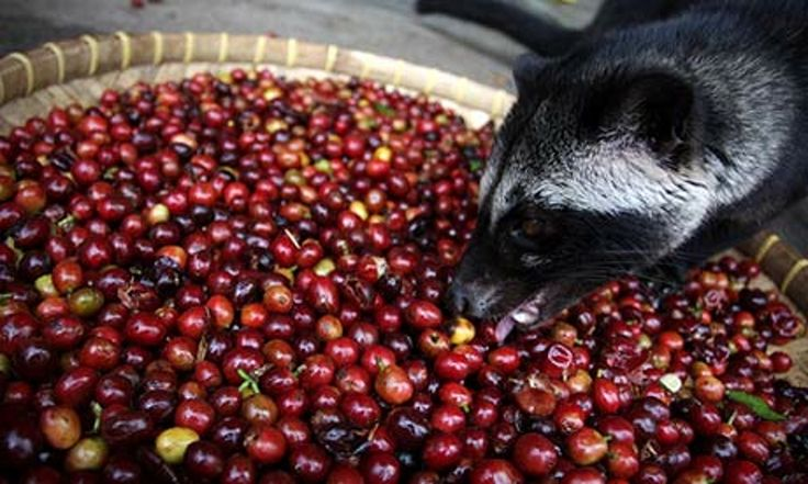 Tony Wild: When I introduced civet coffee to the UK it was a quirky novelty. Now it's overpriced, industrialised, cruel – and frequently inauthentic. That's really hard to stomach