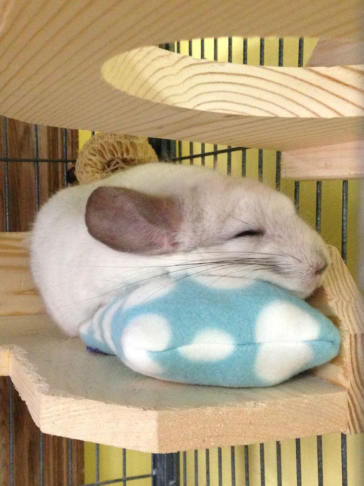Our Sleepy Chinchilla ... zzz. He loves his fleece pillow. #cuteness