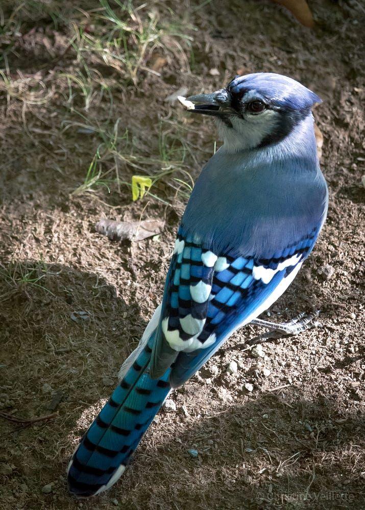 Blue Jay - by Christine Veillette